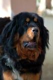 mastifa tibetan Obraz Stock
