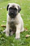 mastiff английской языка младенца Стоковые Фото