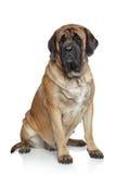 mastiff английской языка собаки Стоковое фото RF