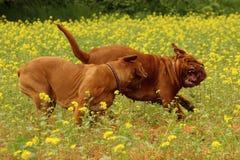 Mastiff 2 Бордо Стоковая Фотография RF