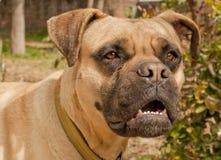 mastiff быка Стоковое Изображение