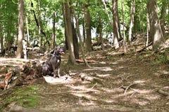 Mastiff годовалого corso тросточки 2 итальянский в лесе стоковое изображение