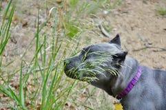Mastiff 4 месяцев старый итальянский обнюхивая траву Стоковая Фотография RF
