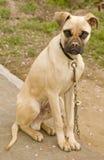 mastiff собаки быка Стоковые Фото