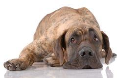 немецкий mastiff Стоковые Изображения RF