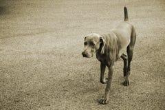 Mastiff Lizenzfreie Stockfotografie