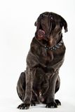 Mastiff. Big hige dog looking up Royalty Free Stock Photography