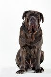 Mastiff. Big huge dog Royalty Free Stock Photos