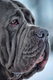 Mastiff Royalty Free Stock Images