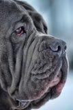 Mastiff Imagens de Stock Royalty Free