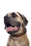 mastiff Royaltyfri Bild