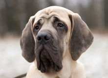mastiff royaltyfria foton