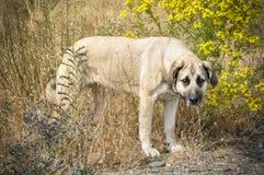 mastiff Immagini Stock Libere da Diritti