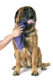 mastiff royaltyfri foto