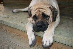 Mastiff Fotografie Stock