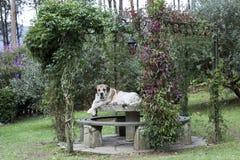 mastiff Arkivfoton