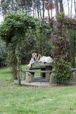 mastiff Arkivbilder
