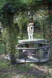 mastiff Arkivbild