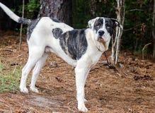 Mastiff American Bulldog mixed breed dog Stock Photography