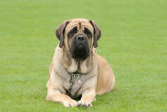 Mastiff anglais Photo libre de droits
