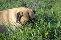 Mastiff auf dem Gebiet lizenzfreie stockfotografie