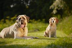 Mastiff with beagle Stock Images