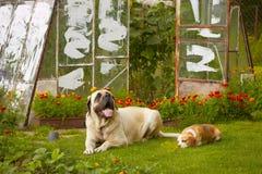 Mastiff with beagle Royalty Free Stock Photography