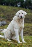 Mastiff blanc Photographie stock libre de droits