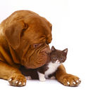 Mastiff from Bordeaux and a small kitten. Mastiff from Bordeaux and a small kitten on a white background Stock Photos