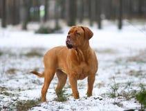 Mastiff from Bordeaux in snow. Stock Photo