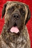 Mastiff Brindle imagens de stock royalty free