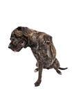 Mastiff Brindle tímido com pata para fora imagem de stock royalty free