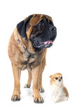 Mastiff and chihuahua Royalty Free Stock Images