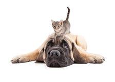 Mastiff contrarié Puupy avec le chaton sur la tête image stock