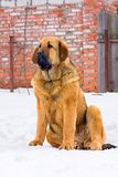Mastiff d'Espagnol de chiot Photos stock