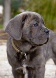 Mastiff d'Italien de chiot Photo stock