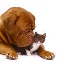 Mastiff dal Bordeaux e da un piccolo gattino. Fotografie Stock