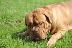 Mastiff de Bordoss Fotografia de Stock Royalty Free