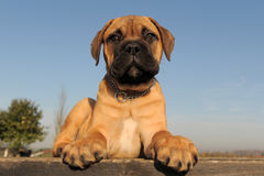 Mastiff de Bull do filhote de cachorro Fotos de Stock Royalty Free