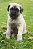 Mastiff de l'anglais de chéri Photos stock