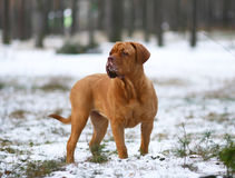 Mastiff do Bordéus na neve. Foto de Stock