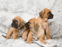 Mastiff dog baby Royalty Free Stock Photos
