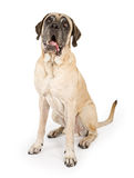 Mastiff Dog Isolated on White Stock Photo