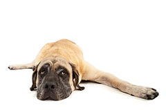 Mastiff dog laying down Royalty Free Stock Photo
