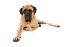 Mastiff Dog Laying Leg Tucked stock photography