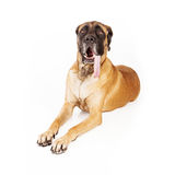 Mastiff Dog With Long Tongue Royalty Free Stock Image