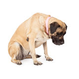 Mastiff Dog Looking Down Royalty Free Stock Photo
