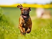 Mastiff dog Stock Images
