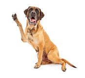 Mastiff Dog With Paw in Peace Sign. Mastiff dog against a white backdrop holding his paw up and making a V shape to symbolize peace, vote or victory Royalty Free Stock Photo