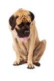 Mastiff Dog Sitting Looking Down Stock Photo